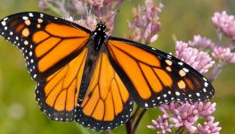 Texas Discovery Gardens Embarking on Largest Urban Monarch Project in the Nation